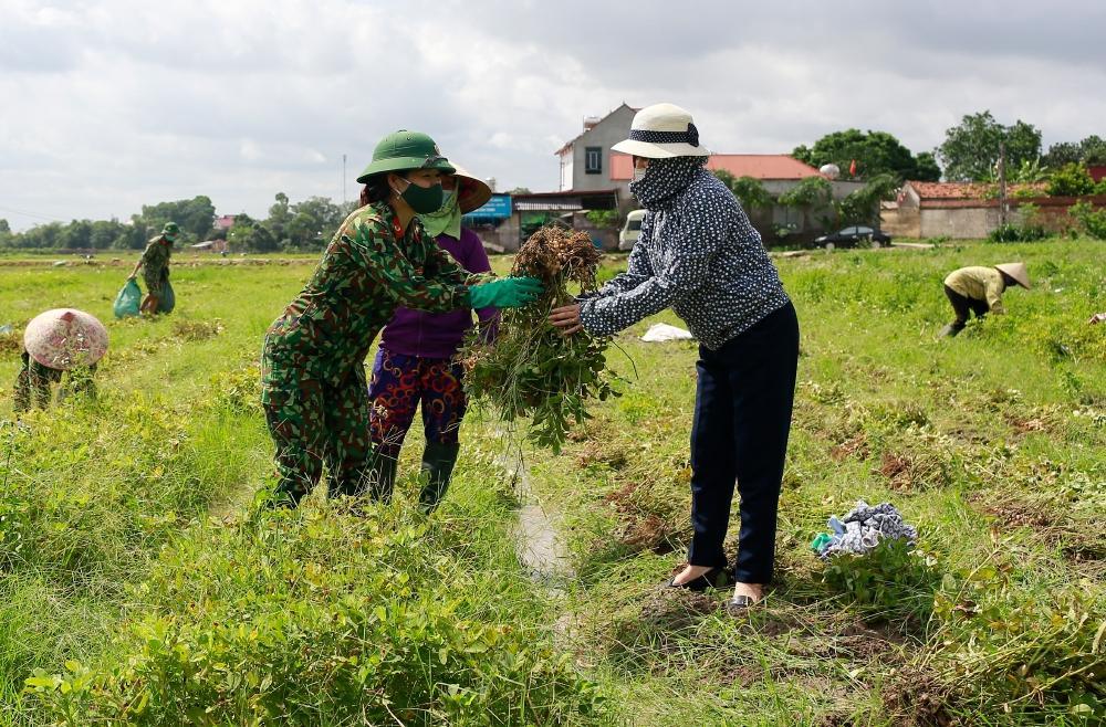 Các nữ quân nhân chia sẻ nắng gió đồng ruộng cùng nhân dân xã Danh Thắng (Hiệp Hòa, Bắc Giang) thu hoạch lạc.