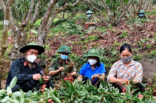 Bộ đội giúp nhân dân thu hoạch vải thiều