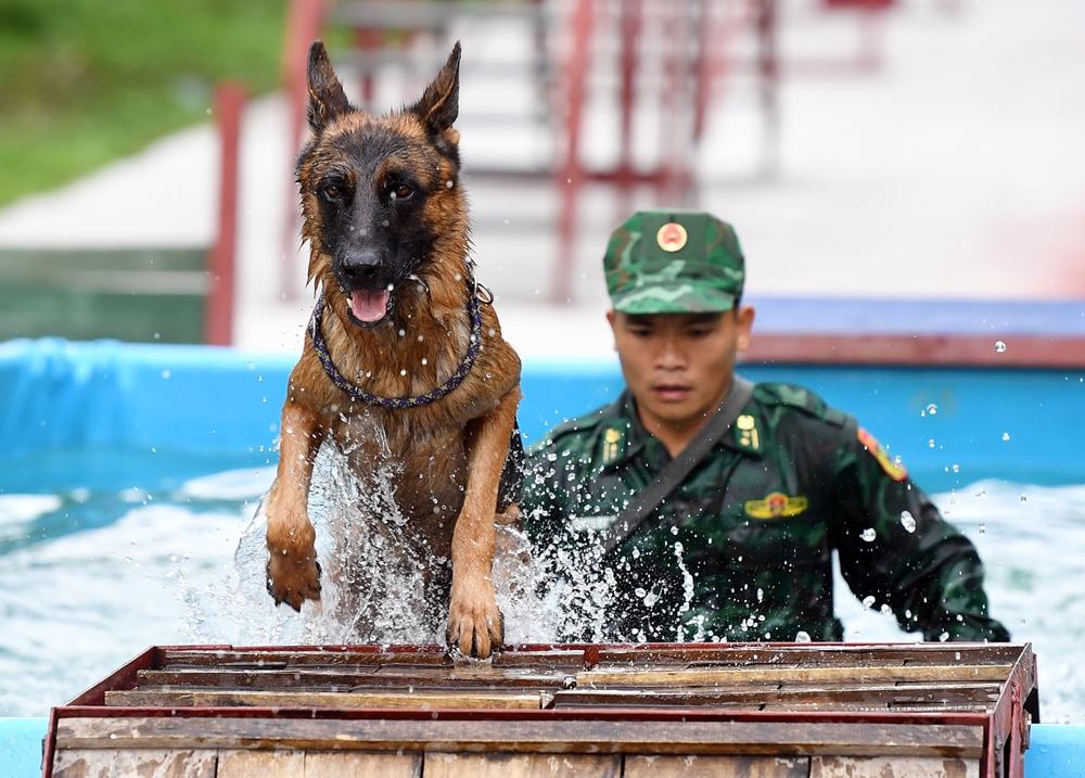Hầu hết các chú chó nghiệp vụ đều thuần thục bơi và tỏ ra mạnh mẽ trước vật cản là bể nước