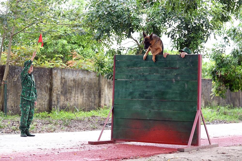 Tường ván cao 1,8m là một trong những vật cản khó nhằn nhất đối với các chú chó nghiệp vụ tham gia thi đấu.