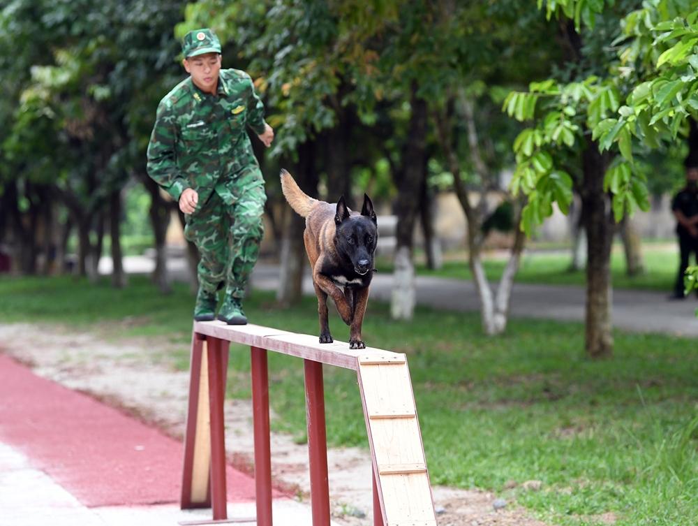 Bài tập tưởng đơn giản như vượt cầu độc mộc có chiều dài 5m và rộng 17cm các chú chó nghiệp vụ được huấn luyện kỹ và nhuyễn để có thể giành trọn vẹn điểm khi thi đấu.