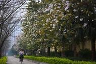 河内洋紫荆花争奇斗艳