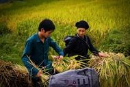 在板冯乡水稻成熟的季节