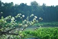 Pear flowers in full bloom in Bac Ha